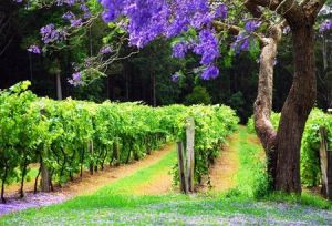 Bago Vineyards - Accommodation Airlie Beach