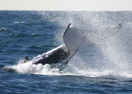 Whale Watching Sydney - Accommodation Airlie Beach
