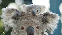 Billabong Koala and Wildlife Park - Accommodation Airlie Beach