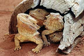 Alice Springs Reptile Centre - Accommodation Airlie Beach