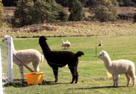 Maydena Country Cabins Accommodation  Alpaca Stud - Accommodation Airlie Beach