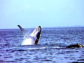 Whale Watching - Accommodation Airlie Beach