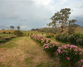 Damasque Rose Oil Farm - Accommodation Airlie Beach