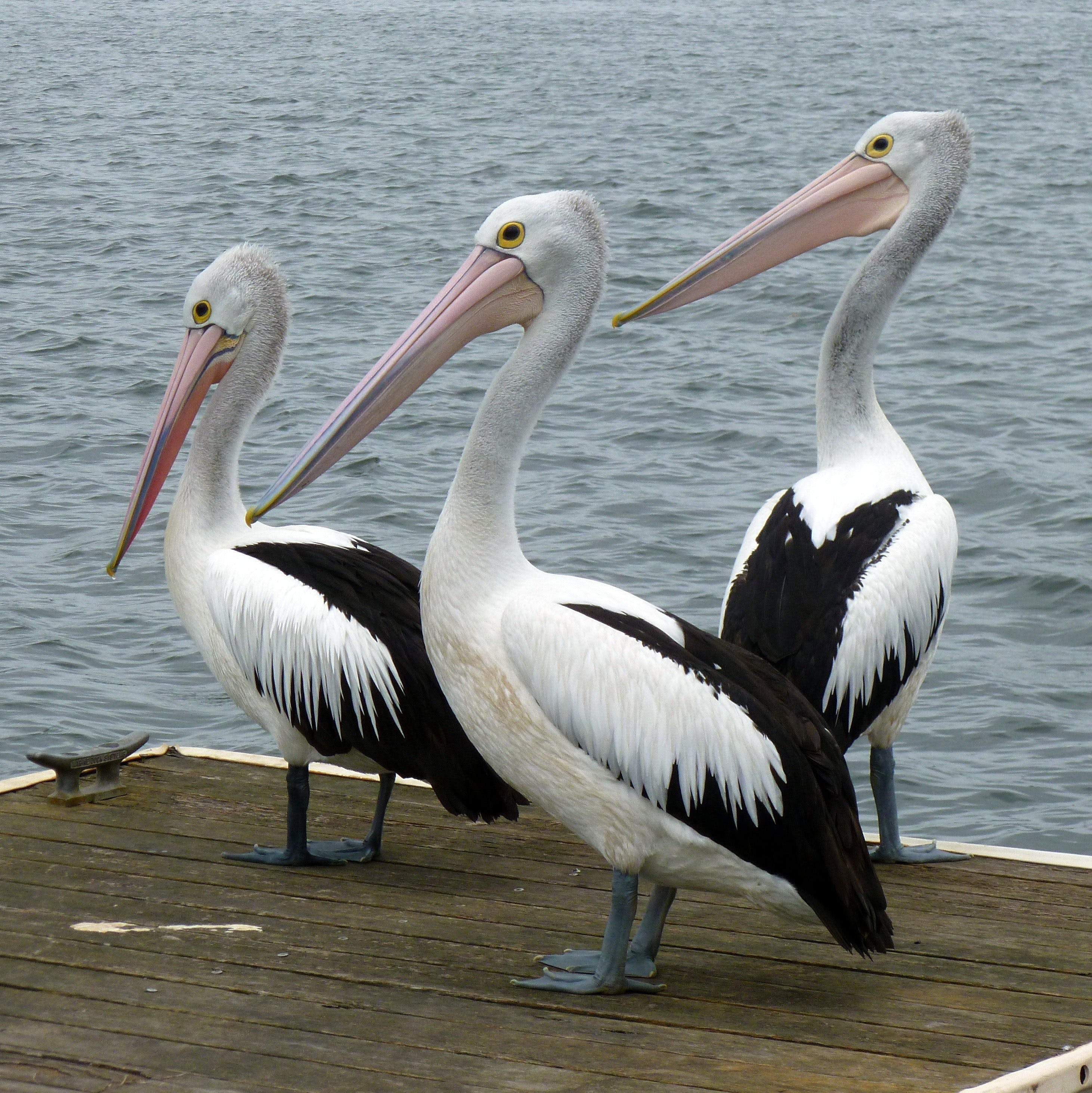Pelican Feeding - Accommodation Airlie Beach